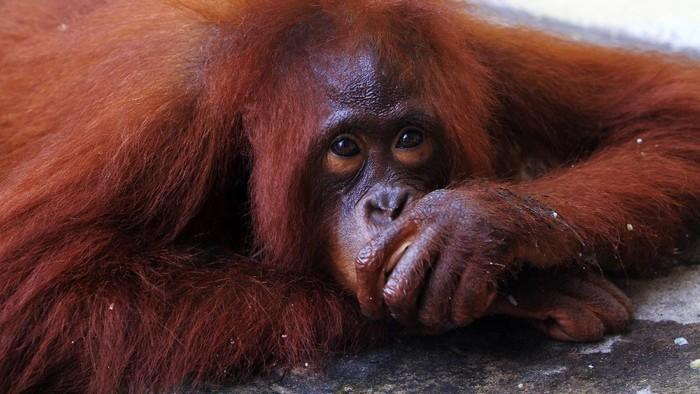 Satu individu Orangutan betina bernama Kingkong berbaring di halaman dalam Mako Polres Mempawah di Kabupaten Mempawah, Kalimantan Barat, Rabu (26/8/2020). Satwa primata dilindungi tersebut telah dipelihara dalam kondisi dirantai oleh warga Mempawah Hilir selama tiga tahun terakhir dan berhasil dievakuasi Sat Reskrim Polres Mempawah pada Selasa (25/8/2020), serta akan diserahkan ke BKSDA Kalbar untuk ditangani lebih lanjut. ANTARA FOTO/Jessica Helena Wuysang/foc.