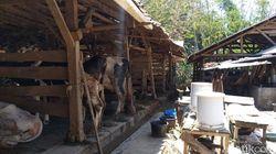 Diprotes Warga, Limbah Kotoran Sapi di Cipari Kuningan 60 Ton Per Hari