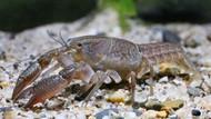 12 Fakta Unik Lobster: Kanibal dan Poliandri