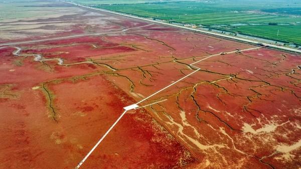 Namanya adalah Red Beach atau Pantai Merah. Kawasan unik ini berada di Panjin di timur laut China. (AFP via Getty Images/ CNN Travel)