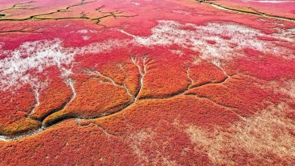 Ini bukanlah pantai dengan ombak merah darah. Namun dijuluki Pantai Merah karena bunga liar yang bila mekar menciptakan hamparan merah yang luas. (AFP via Getty Images/ CNN Travel)