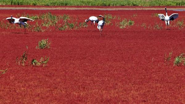 Sebagian besar Pantai Merah sepanjang 18 Km ditutup untuk umum dan dijadikan kawasan lindung pada tahun 1988. Daerah itu merupakan lahan basah, tertutup alang-alang dan persawahan. Serta juga menjadi rumah bagi 399 spesies hewan liar dari 260 jenis burung. Termasuk burung bangau yang terancam punah dan burung camar berparuh hitam.