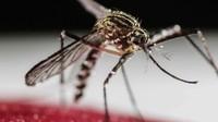 Demam berdarah: Nyamuk modifikasi terbukti kurangi kasus demam berdarah dengan signifikan di Yogyakarta
