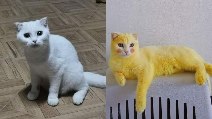 Diolesi Kunyit Kucing Ini Berubah Jadi 'Pikachu'
