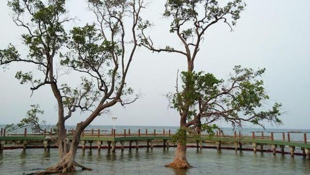 Pohon Pengantin di Pulau Untung Jawa