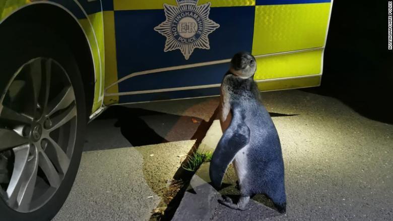 Penguin Humboldt ditemukan polisi