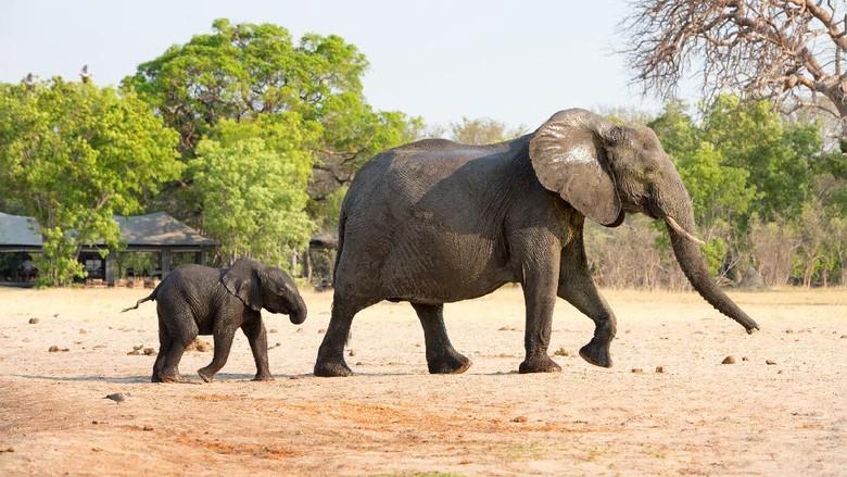 gajah di Taman Nasional Hwange, Zimbabwe