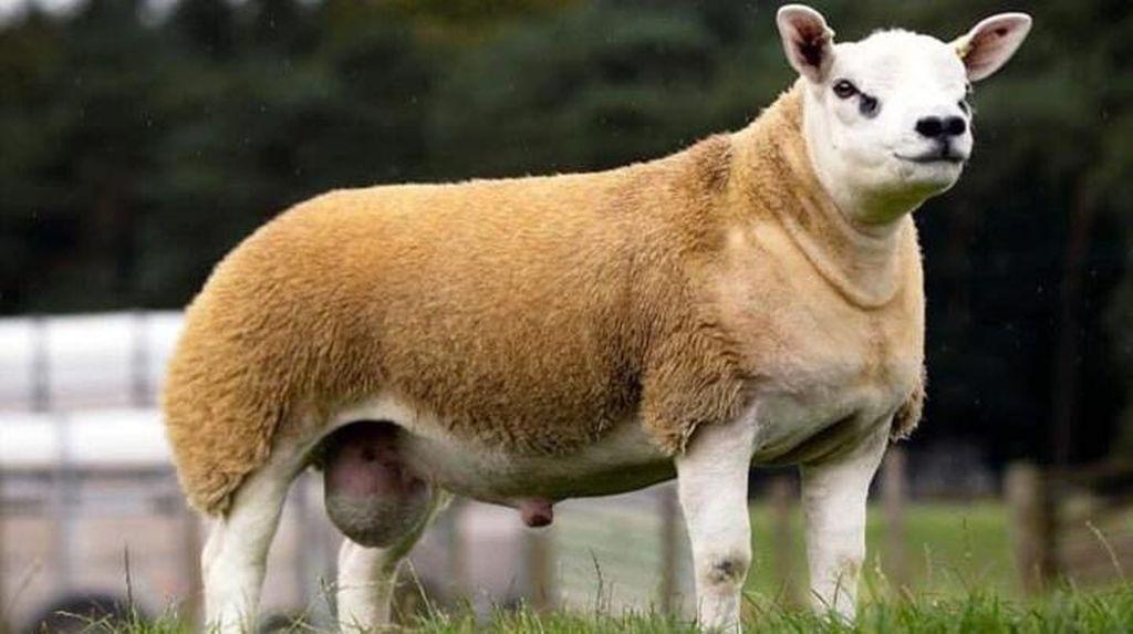 Domba Termahal di Dunia Ini Baru Saja Terjual Rp 7,1 Miliar!