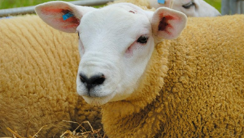 Texel sheep ready for a show