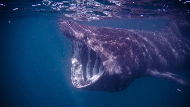 Hiu penjemur basking shark