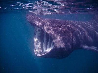 Momen Spesial, Fotografer Ini Potret Hiu Penjemur Ikan Terbesar Kedua di Dunia