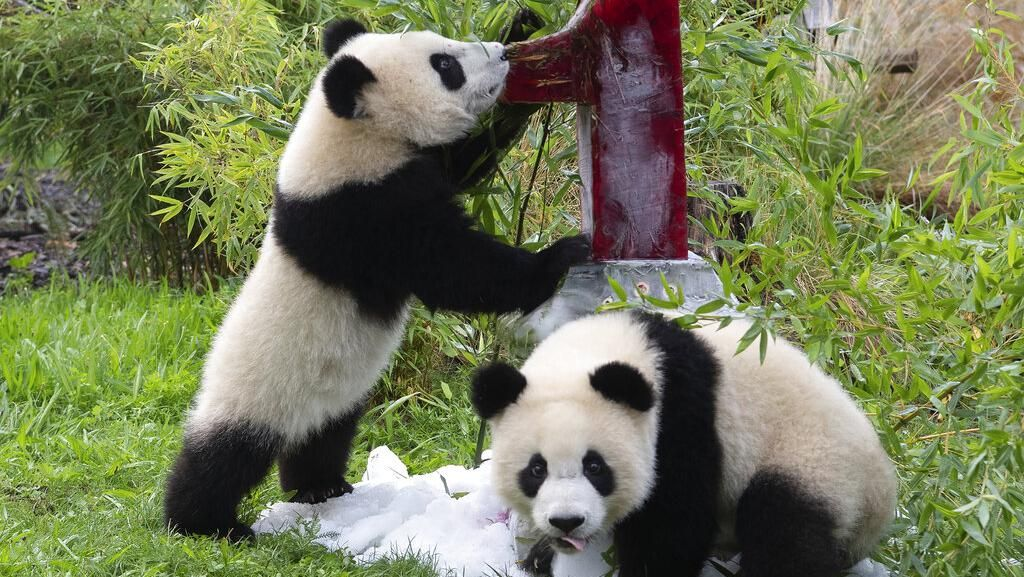 Tingkah Lucu Panda Kembar di Ulang Tahun Pertamanya