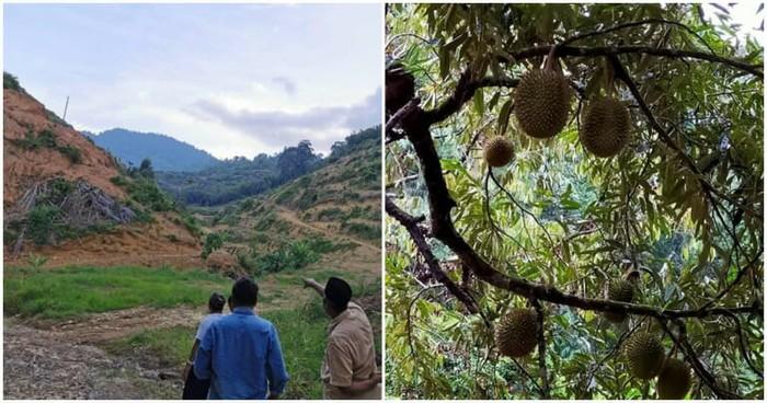 Perkebunan durian Musang King rusak habitat satwa liar Malaysia