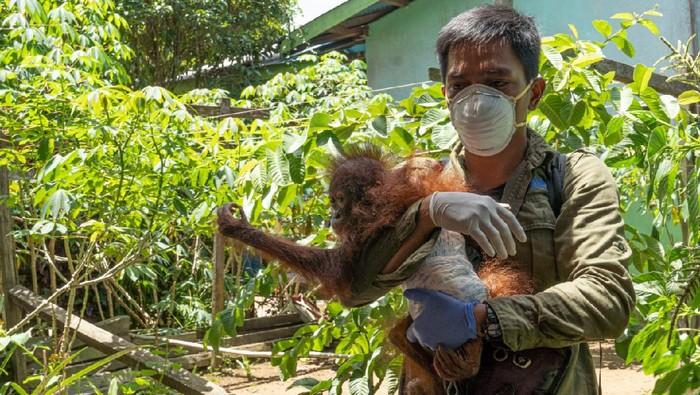 Bayo orang utan dievakuasi BKSDA Kalbar dari seorang warga (dok Istimewa)