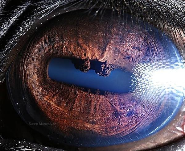 Sesuai warna tubuhnya, mata kuda nil juga bewarna kecoklatan. Unik ya? (Suren Manvelyan)