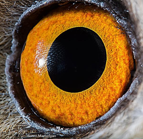 Ini adalah mata dari burung hantu bertelinga panjang. (Suren Manvelyan)