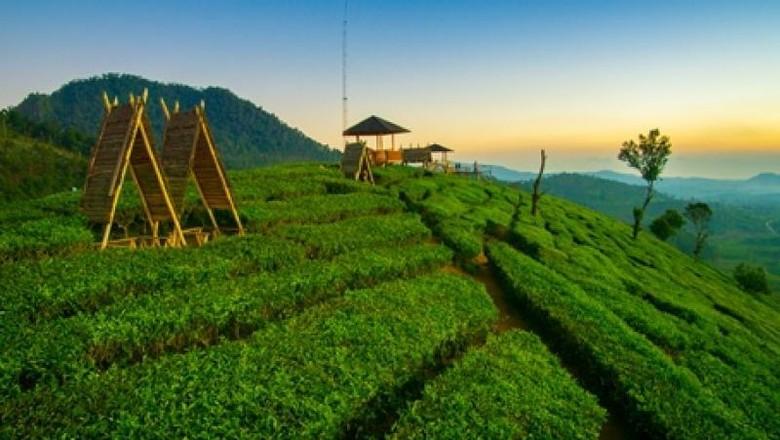 Kebun teh di Pangalengan.