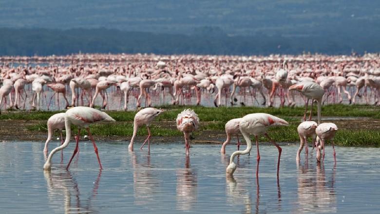 Flamingo di Danau Nakuru
