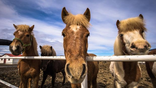 Galsi Horse rental - May 08, 2018: Icelandic horses in the farm of Galsi Horse rental, Iceland