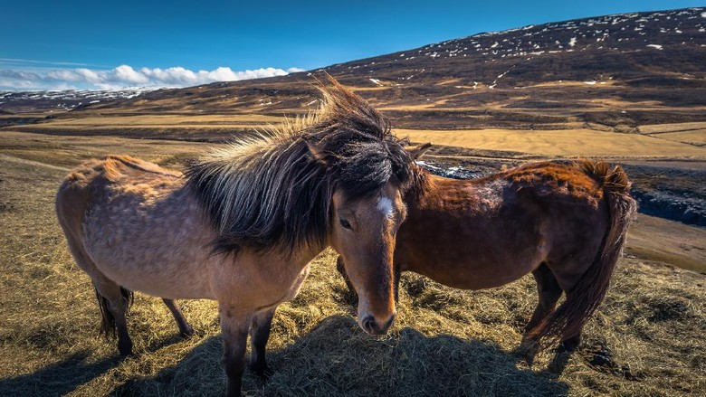 Icelandic wilderness - May 06, 2018: Icelandic horses in the wilderness of Iceland