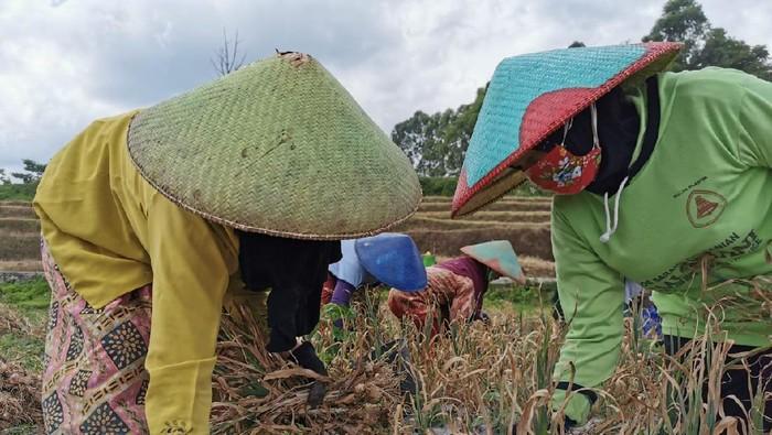 Petani bawang putih di Tegal