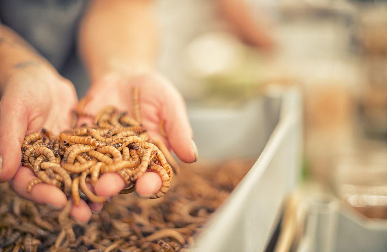 Ulat Hong Kong Dipromosikan Sebagai Sumber Makanan Ramah Lingkungan