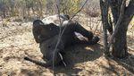 Ini Biang Kerok yang Bikin Ratusan Gajah di Afrika Mati