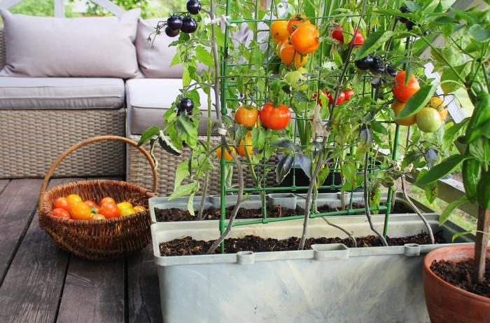 Bisa Cepat Panen, Sayuran dan Buah Ini Cocok Ditanam di Rumah