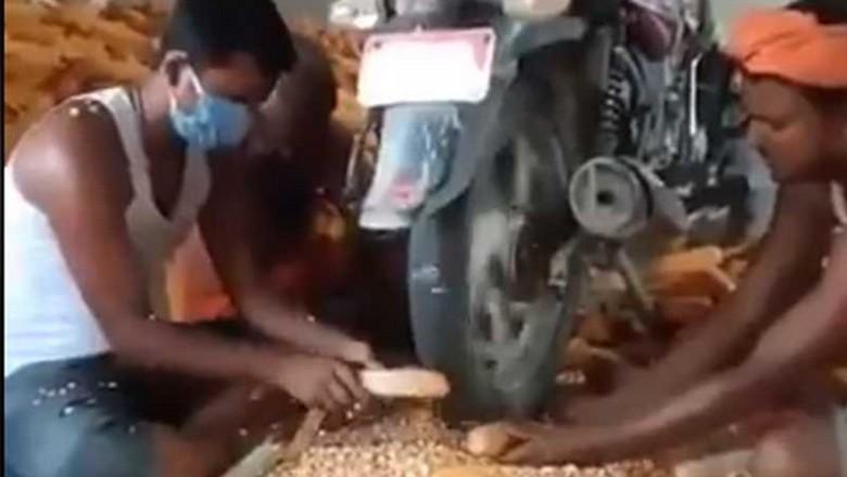 Kupas jagung pakai motor.