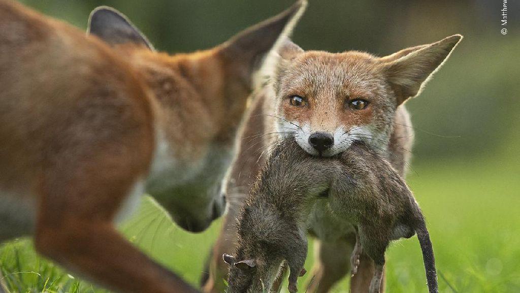 Karya Terpuji Wildlife Photographer of the Year 2020 Pukau Mata