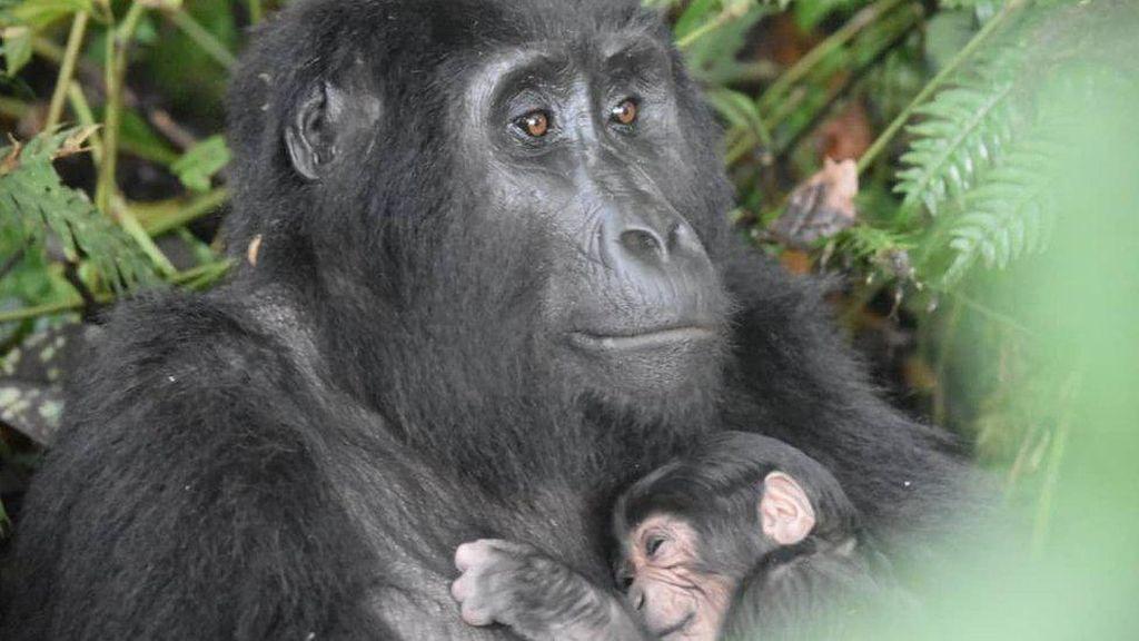 Keluarga Gorila di Uganda Alami Ledakan Angka Kelahiran