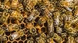 Racun Lebah Madu Bisa Membunuh Beberapa Sel Kanker Payudara
