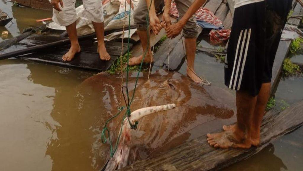 Ikan Pari Raksasa Tersangkut Jaring Nelayan di Sumsel, Camat Lepas Liarkan