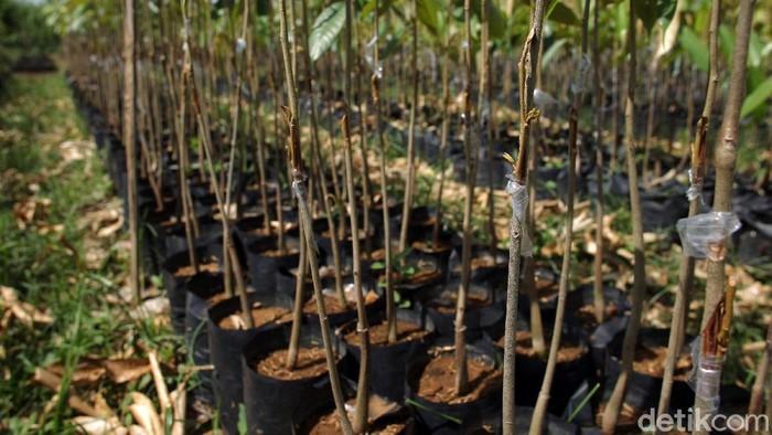 Dusun Kebonkliwon, Salaman, Magelang, Jawa Tengah, menjadi salah satu pemasok bibit tanaman durian. Di tempat ini dilakukan persilangan pohon durian.