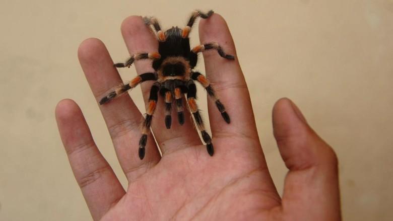 Tarantula kerap dianggap sebagai hewan berbahaya. Namun di Tegal, tarantula diternak dan dijual dengan harga mencapai puluhan juta rupiah lho.