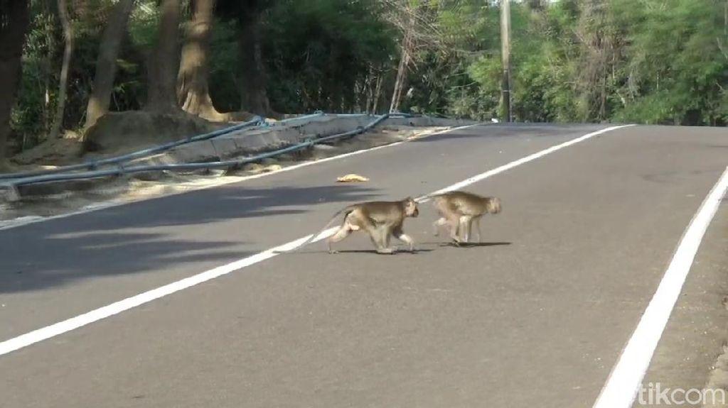 Kawanan Monyet di Jatiluhur Turun ke Pemukiman Jarah Makanan Warga