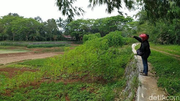 Warga tanami sayuran di Situ Rancabungur yang mengering.