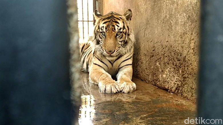 BKSDA turun ke Maharani Zoo dan Goa Lamongan. Petugas BKSDA mengecek kebenaran harimau Sumatera kurus yang viral di medsos. Hasilnya?