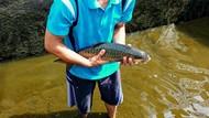Budi Daya Ikan Dewa yang Dikeramatkan, Harga Bisa Rp 1 Juta/Kg