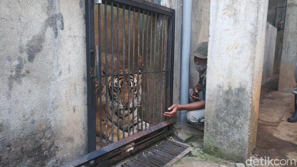 Viral Bertubuh Kurus Karena Sudah Tua, Kapan Seekor Harimau Menua?