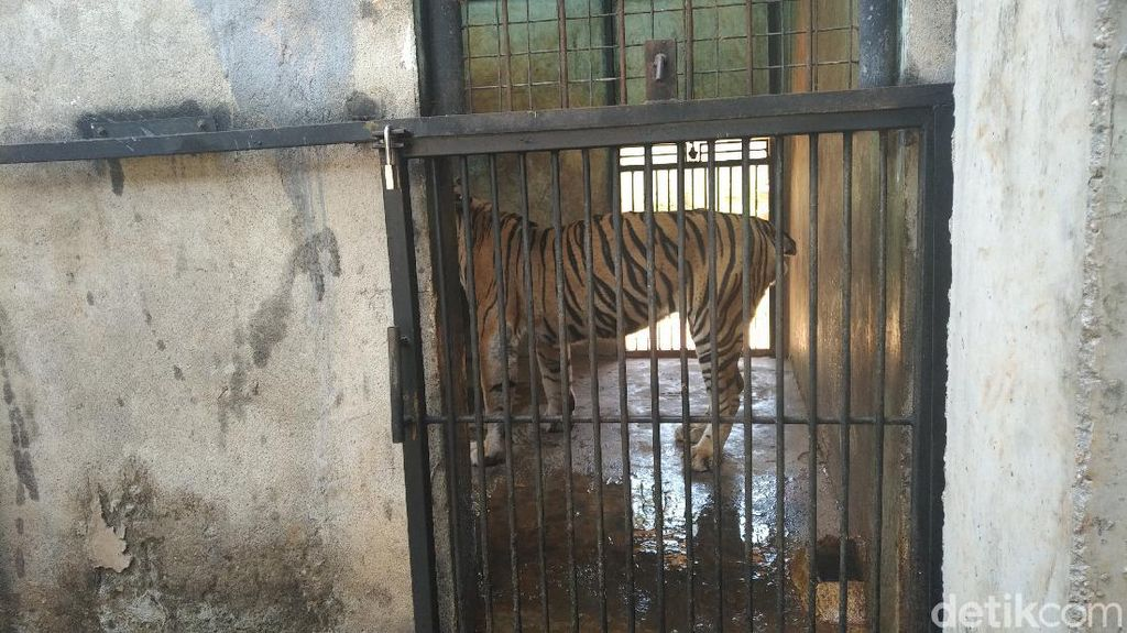 Viral Video Harimau Kurus, Maharani Zoo: Usia Sudah Tua