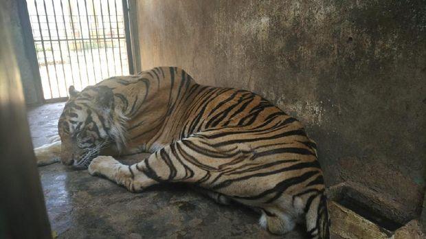 harimau maharani zoo