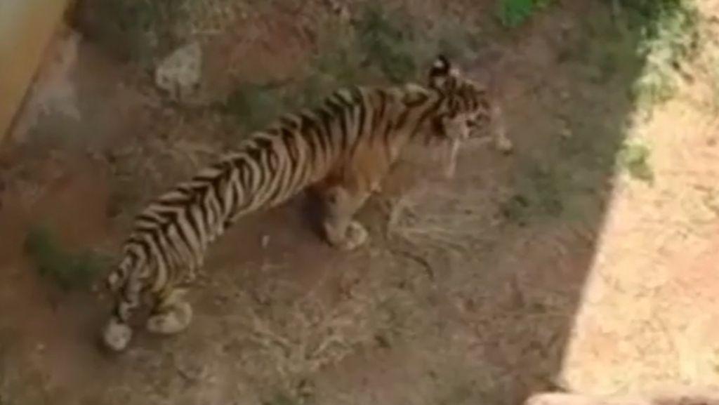 Penjelasan Dokter Hewan soal Harimau Kurus di Maharani Zoo