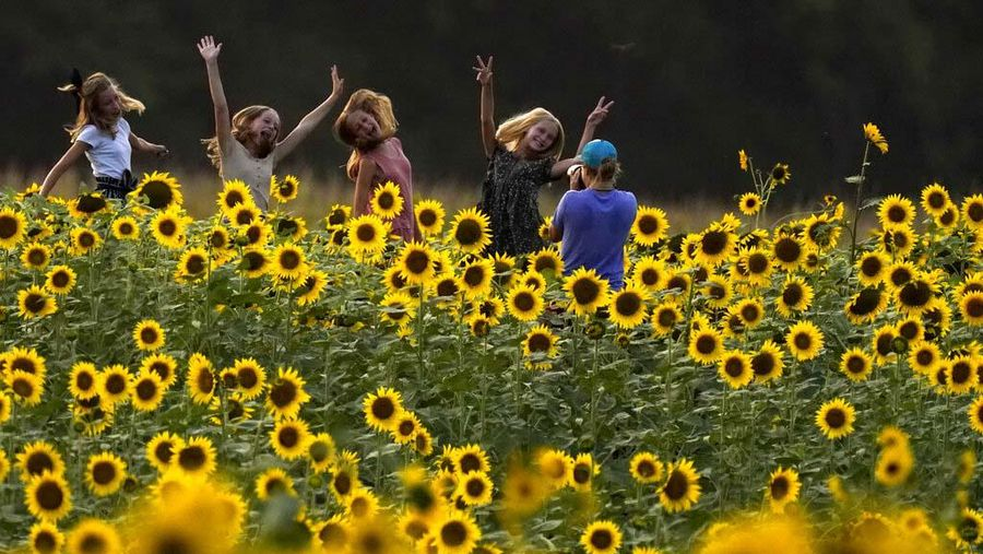 Semarak Bunga Matahari Yang Mekar Di Kansas Foto 4