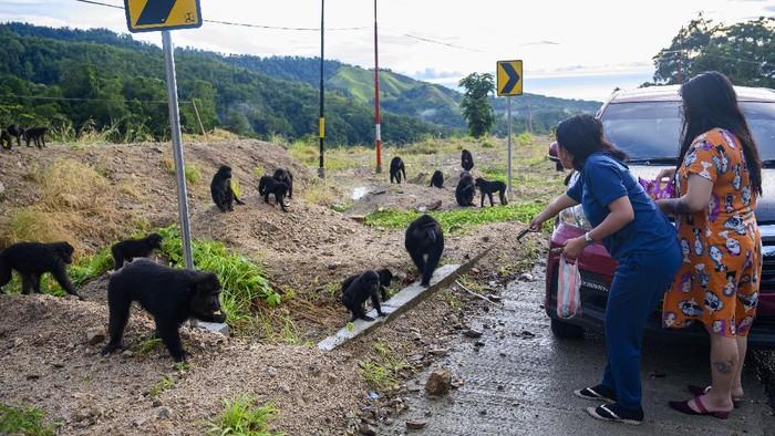 Sejumlah Kera Hitam Sulawesi mencari makanan di pinggir jalan Trans Sulawesi. Tak sedikit warga yang berhenti untuk memberi makanan kawanan kera hitam tersebut.
