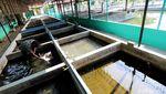 Melihat Budidaya Ikan Nila di Surakarta