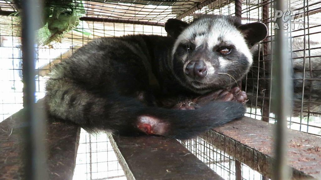 PETA Sebut Industri Kopi Luwak Berisiko Picu Pandemi COVID-19