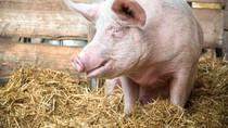 Alasan Susu Babi Tak Diminum Manusia hingga Pemilik Bandeng Juwana Tutup Usia