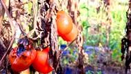 Viral Tomat Cuma Dihargai Rp 500/Kg, Akhirnya Dibiarkan Membusuk