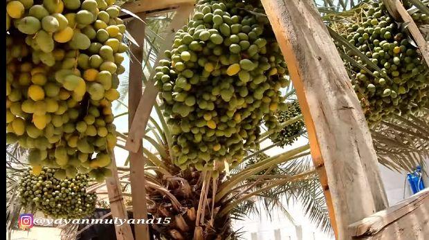 Tumbuh Subur di Arab, Orang-orang Asyik Makan Rujak Kurma Muda
